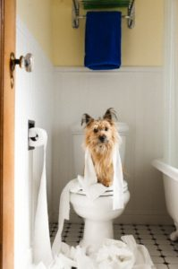 Dog sitting on toilet covered in toilet paper --- Image by © Sasha Gulish/Corbis